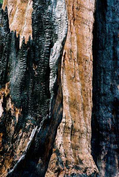 Burnt Tree #3, Kings Canyon National Park, CA, 2008
